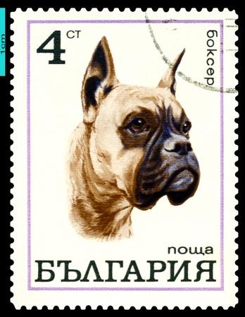 herding dog: BULGARIA - CIRCA 1970: A stamp printed by  Bulgaria shows dog Boxer, series, circa 1970