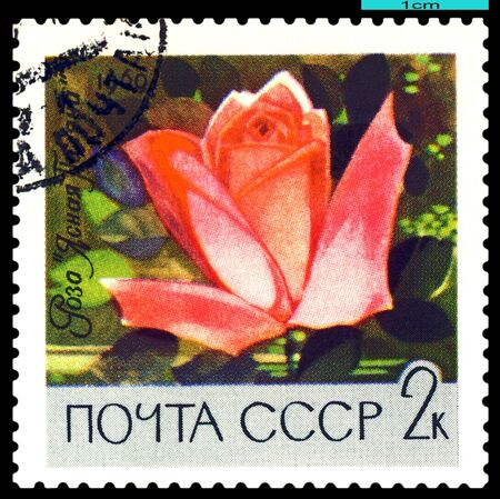 USSR - CIRCA 1969: a stamp printed in USSR shows  Rose  Yasnaya Polyana, series   Botanical Gardens of the Academy of Sciences , circa 1969 photo