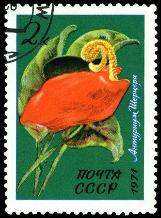 USSR - CIRCA 1971: a stamp printed in USSR shows  flower Anthurium Shercera,  circa 1971 photo