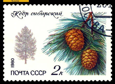 siberian pine: Russia - CIRCA 1980: a stamp printed in Russia shows sheet and fruits of the Siberian pine, series, circa 1980