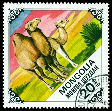 camel post:  MONGOLIA - CIRCA 1978: A Postage Stamp Printed in the Mongolia Shows Camel and Calf, series Bactrian Camels, circa 1978