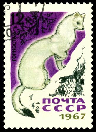 gronostaj: Rosji - OKOŁO 1967 Stempel drukowane przez Rosję pokazuje, gronostaj, ssaków futerkowych, około 1967 Zdjęcie Seryjne