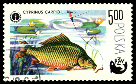 POLAND - CIRCA 1979  A stamp printed in Poland, shows  fish   Carp, from the series Centenary of Polish Angling, circa 1979 Stock Photo - 24239714