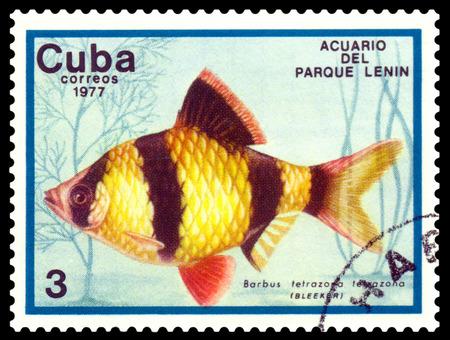 tetrazona: CUBA - CIRCA 1977  a stamp printed by Cuba  show the fishes with the inscription  Barbus tetrazona tetrazona, Lenin Park Aquarium, Havana   Series, circa 1977 Editorial