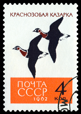 old envelope: RUSSIA - CIRCA 1962: A stamp printed by Russia shows birds Red-breasted Geese,    circa 1962