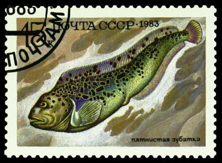 r image: RUSIA - CIRCA 1983: un sello impreso por Rusia muestra el pescado Anarhichas minor, peces serie de Alimentos, alrededor de 1983