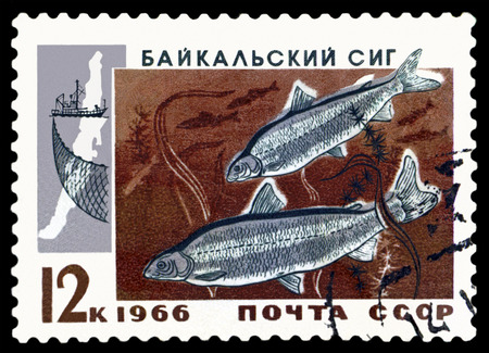 whitefish: RUSSIA CIRCA 1966: a stamp printed by Rusuia show the fish Baykal whitefish. circa 1966 Editorial