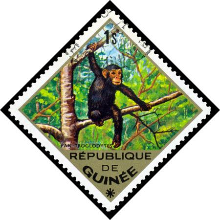 guinee: REPUBLIQUE DE GUINEE CIRCA 1976: a stamp printed by Republique de Guinee shows Common chimpanzee Pan troglodytes series animals Africa circa 1976