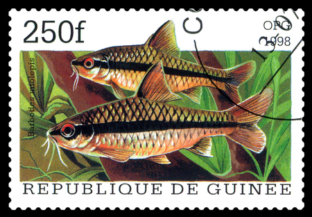 STAVROPOL, RUSSIA - APRIL 30, 2016: a stamp printed in Republique de Guinee show the fishes Barbodus miolepis, series, circa 1998