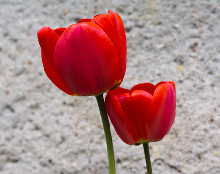 two red tulips on the grey old background