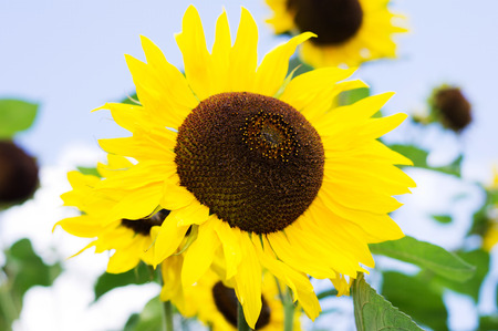 Detail of sunflowers and blue sky background