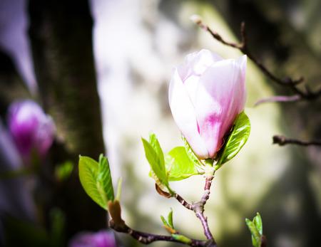 magnolia tree: Magnolia tree blossom in the spring garden