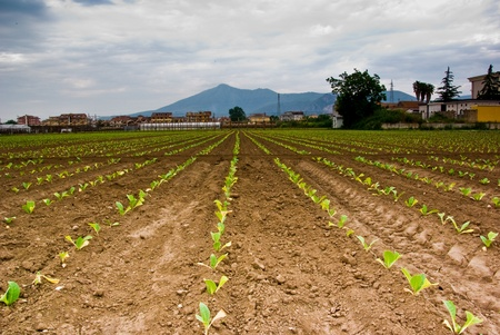 Champ de tabac fra�chement plant�s dans des tons chauds