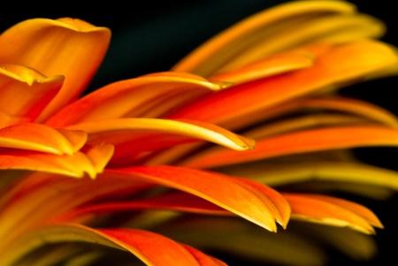 Orange Gerbera Fleur Macro montrant le d�tail des rayons ou des p�tales sur un fond noir.