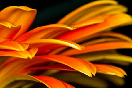 Orange Gerbera Flower Macro showing the detail of the rays or petals on a black background. Stock Photo