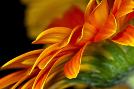 barberton daisy: Close up of the bright orange rays of a cultivated ornamental Barberton Daisy or Gerbera