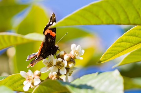Butterfly Sipping Nectar On A Blossom, low angle view showing proboscis Stock Photo