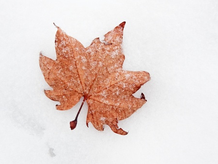 frozen maple leaf in the snow photo