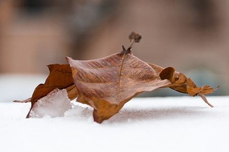 sub zero: Closeup of a curled dried brown winter leaf on snow, conceptual of seasons.