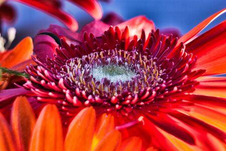 gerbera rouge fleur macro shot