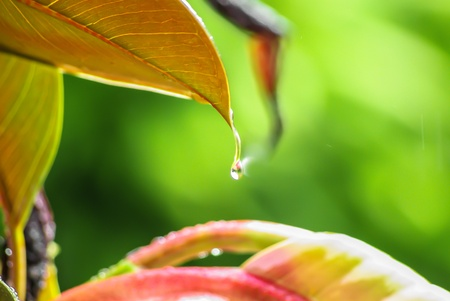 glistening: Glistening raindrop or dewdrop hanging suspended from the tip of a leaf in nature