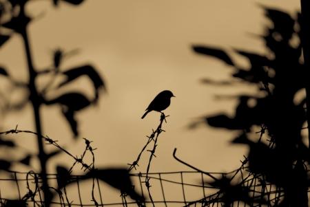 Silhouette d'un oiseau petit jardin perch� sur un fil barbel� au-dessus d'une cl�ture en grillage