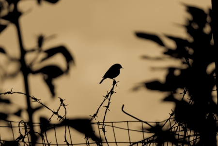 Silhouette of a small garden bird perched on a strand of barbed wire above a wire mesh fence photo