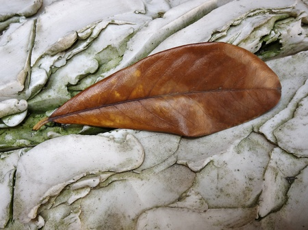 fissures: Single brown autumn leaf lying on a rock with an interesting pattern of veins and fissures