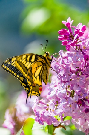 Pretty swallowtail butterfly, Papilio machaon, perched with wings closed on lilac flowers foraging nectar, sideways view of underside pattern on the wings Stock Photo