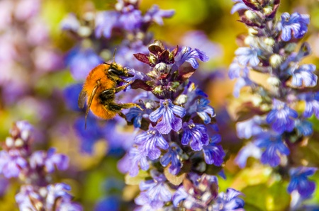 Carder bee, one of the Bombus species of bumblebee, foraging on a purple flower
