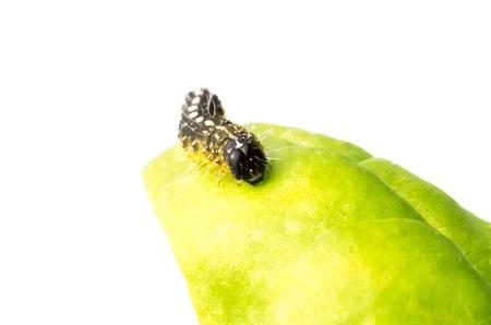 Brown chenille, le stade larvaire juv�nile de l�pidopt�res - papillons diurnes et nocturnes - sur la surface d'une feuille sur laquelle il se nourrit voracement pour alimenter sa croissance