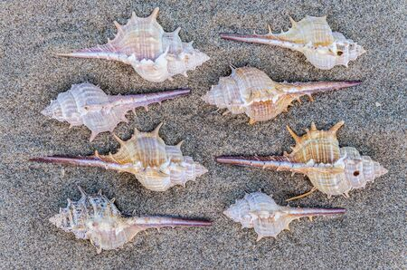 Arrangement of eight spiny seashells from marine snails or gastropods forming a repeat pattern on sand