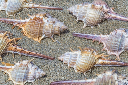 Closeup view of an arrangement of spiny seashells from marine snails or gastropods on sand viewed from above