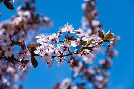 prunus: Spring pink prunus flowers