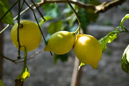 citrus aurantium: lemon hanging on a lemon tree