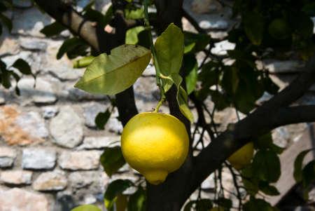 citrus aurantium: lemon on tree in garda lake