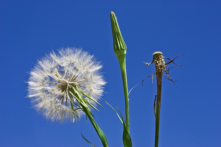 dandelion, concept development from birth to death