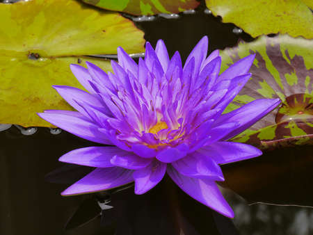 so: The Blue lotus so cute in Thailand very beautiful