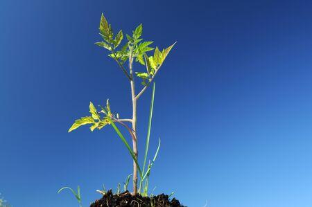 soli: Tomato plant closeup view against blue sky Stock Photo