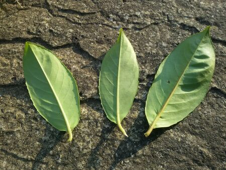 close: Close view of three green leafs