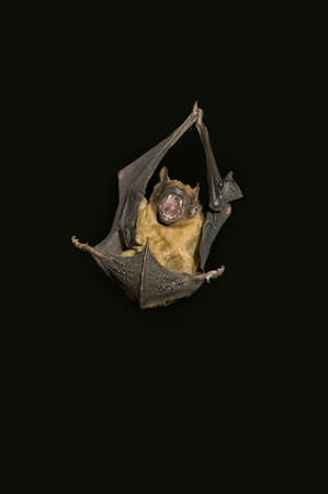 cave dweller: an angry and screaming bat Nyctalus noctula on a black background
