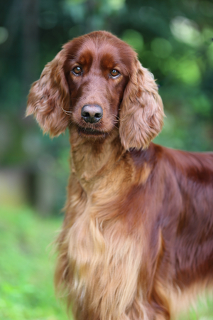 hounds: hunting dog
