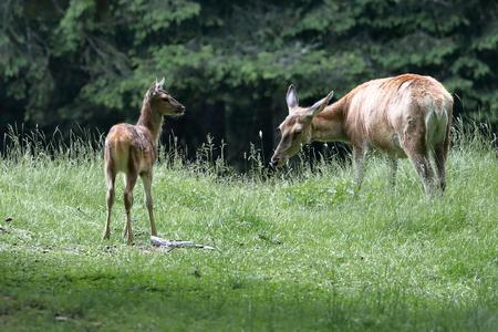 ruminant: deer in the woods
