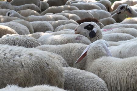 herbivore: flock of sheep grazing