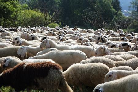ruminant: flock of sheep grazing