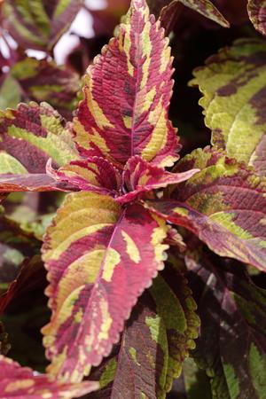 variegated: Coleus blumei combat plant