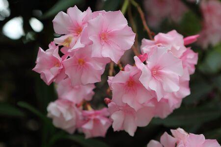 oleander: pink oleander