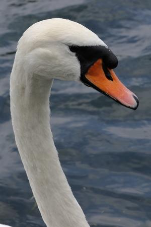 olor: Mute Swan (Cygnus olor)