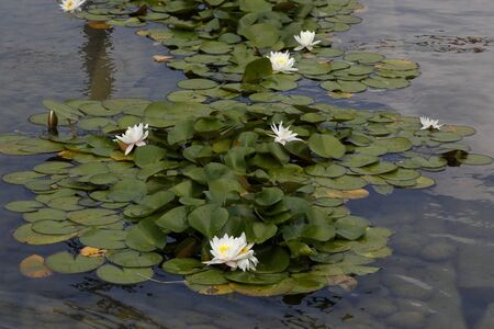 nymphaea: Water Lily - Nymphaea Stock Photo