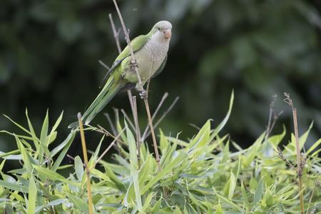 parakeet monaco Stock Photo